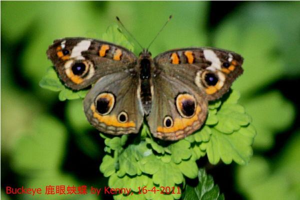 {#IMG_5076-butterfly-buckeye2a.jpg}