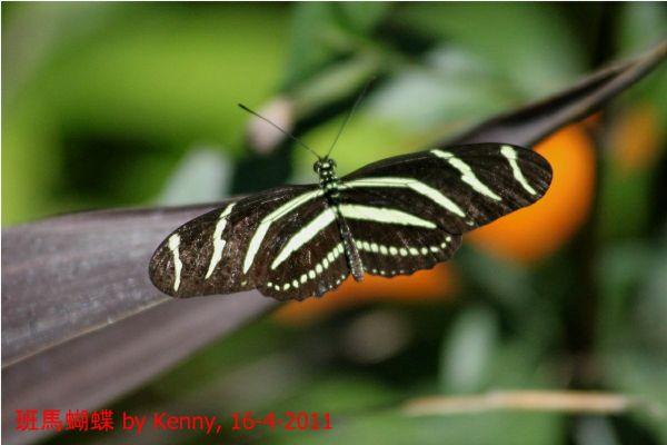 {#IMG_5149-butterfly-zebra02a.jpg}