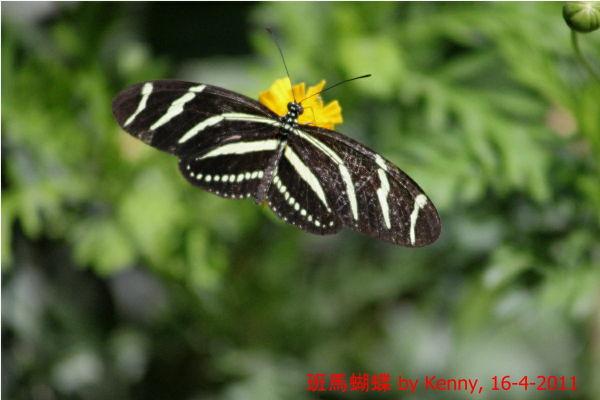 {#IMG_5148-butterfly-zebra01a.jpg}