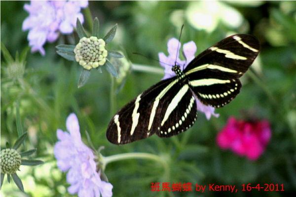 {#IMG_5060-butterfly-zebra3a.jpg}