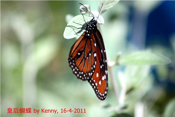 {#IMG_5201-butterfly-queen3a.jpg}