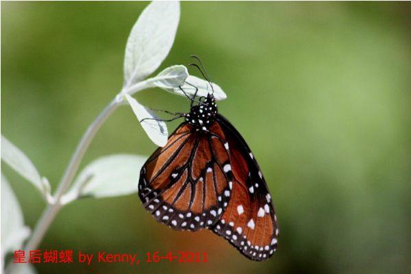 {#IMG_5203-butterfly-queen1a.jpg}